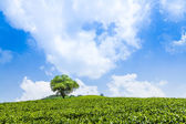 Green tea garden on the hill — Stock Photo