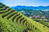 Giardino del tè verde sulla collina — Foto Stock