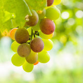 Closeup of grapes in a vineyard — Stock Photo