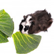 Guinea pig on the white background — Stock Photo