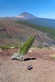 Tajinaste flower of Tenerife island. Peak of volcano Teide — Stock Photo