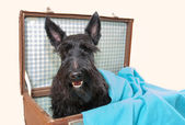 Scottish Terrier in vintage suitcase — Stock Photo