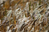 Golden corn field blowing in wind — Stock Photo