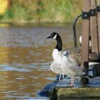 Swan and seagulls by lake — Stock Photo