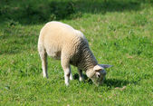 Lamb grazing in field — 图库照片