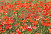 Red poppy flowers in summer — 图库照片
