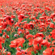 Field of red poppy flowers — Foto Stock