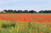 Red and yellow poppy fields — Stock Photo