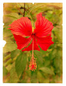 Red hibiscus flower on a piece of old paper — Stock Photo