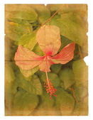 Pink hibiscus flower on a piece of old paper. — Stock Photo