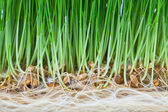 Green shoots of young plants and roots — Stock Photo