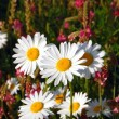 Field of daisies — Stock Photo #13588946