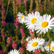 Field of daisies — Stock Photo #14776569