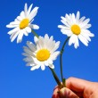 Hand holding a daisy — Stock Photo