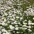 Field of daisies — Stock Photo #31701793