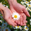 Hands holding a daisy — Stock Photo