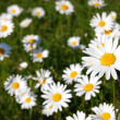 Field of daisies — Stock Photo #33897685