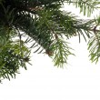 Branches of christmas tree — Stock Photo