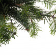 Stock Photo: Branches of christmas tree