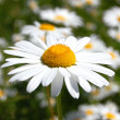 Daisy on a field — Stock Photo