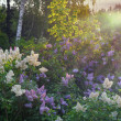 Lilac bush in morning — Stock Photo