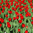 Red tulips on flower bed — Stock Photo