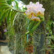 Orchid in tropical greenhouse — Stock Photo #19933329