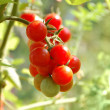 Growing tomatos — Stock Photo #23374080