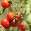 Growing tomatos — Stock Photo