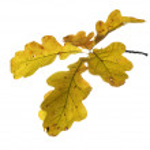 Autumn twig of oak — Stock Photo #2761133