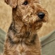 Portrait of Airedale — Stock Photo