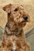 Airedale portresi — Stok fotoğraf