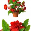 Red begonia — Stock Photo