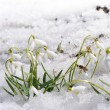 Snowdrops on show — Stock Photo