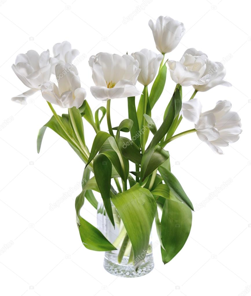 Beautiful Opening Tulips White Stock Photos, Royalty-Free Images ...