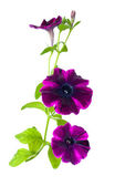 Purple petunia flower — Stock Photo