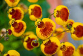 Calceolaria flowers — Stock Photo
