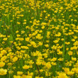 Stock Photo: Field of buttercups