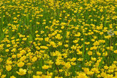 Field of buttercups — Stock Photo