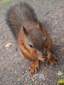 Ardilla roja comiendo tuerca — Foto de Stock