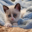 Kitten breed snowshoe, two monthes — Stock Photo #30347387