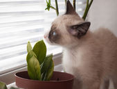 Kitten breed snowshoe, two monthes, sniff plant — Stock Photo