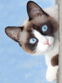 Cat breed snowshoe looking at camera — Stock Photo