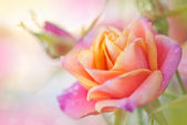 Beautiful roses background blurred — Stock Photo