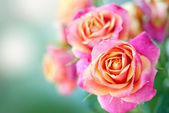 Beautiful pink roses — Foto Stock