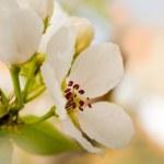 Apple flowers — Stock Photo