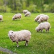 Stock Photo: Sheep graze