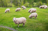 Sheep graze — Stock Photo