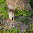 Squirrel on the grass — Stock Photo #43659227