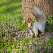 Squirrel on the grass — Stock Photo #43659241